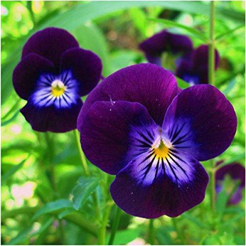 Viola Flower (Package of 600 Seeds, King Henry Viola (Viola cornuta) Open Pollinated Seeds by Seed Needs)