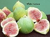 White Genoa Fig Tree Shipped in Soil, Five Gallon Container