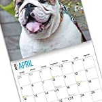 2020 Bulldogs Wall Calendar by Bright Day, 16 Month 12 x 12 Inch, Cute Dogs Puppy Animals English British 17
