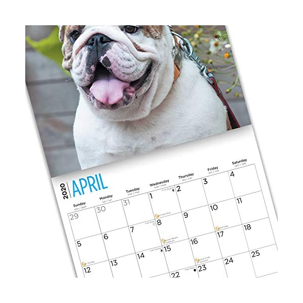 2020 Bulldogs Wall Calendar by Bright Day, 16 Month 12 x 12 Inch, Cute Dogs Puppy Animals English British 8