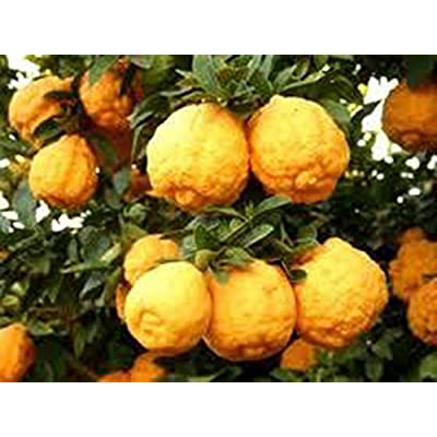 #1279 Schaub DWARF ROUGH LEMON TREE 7 SEEDS : Garden & Outdoor