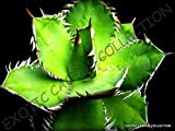 RARE AGAVE TITANOTA GREEN hardy exotic succulent aloe rose plant seed 15 SEEDS