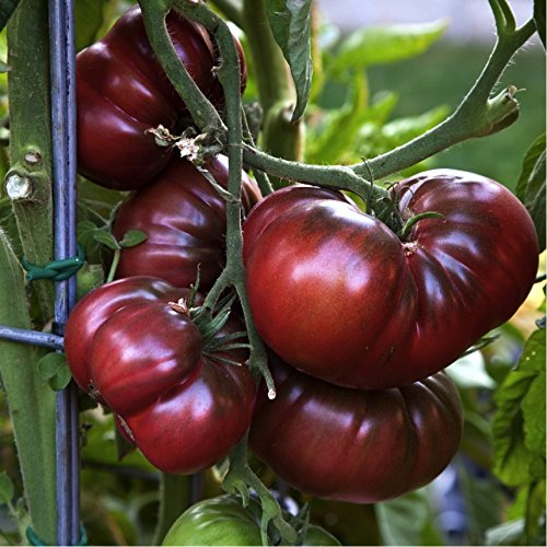 Organic Tomato 'Black Krim' (Lycopersicon Esculentumm Mill.) Vegetable Plant Seeds, Indeterminate Heirloom (Tomato Black Krim)
