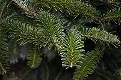 TreesAgain Potted Fraser Fir Tree - Abies fraseri - 14 to 20+ inches (NO SHIP to UT, ID, OR and WA)
