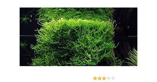 Musgo de Java (Vesicularia dubyana), planta viva para acuarios
