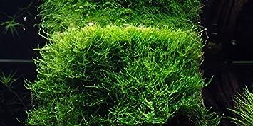 Resultado de imagen de musgo de java