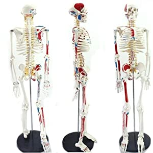 New Human Anatomical Anatomy Skeleton Medical Teaching Model Muscle +Stand By...