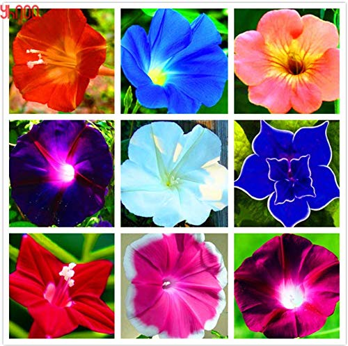 100 pcs Seeds Morning Glory Flower Perennial Garden Flowers Easy to Grow New s -