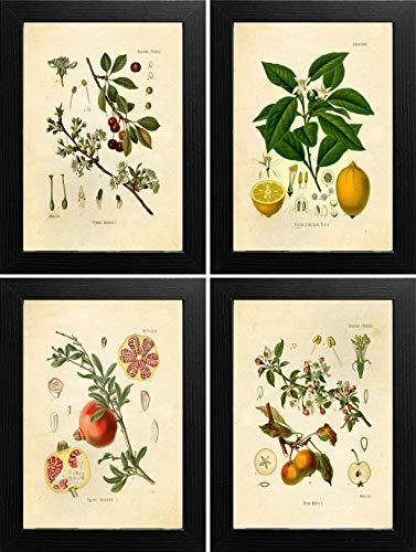 (Ink Inc. Fruit Botanical Prints Vintage Wall Art Drawing, Lemon Apple Pomegranate Cherry, Set of 4, 8x10, Unframed)