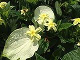 MUSSAENDA Glabra White Winged Unusual Yellow Flowering Perennial Shrub Live Plant Starter Size 4 Inch Pot Emerald TM