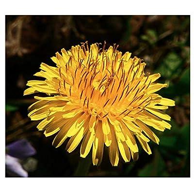 Dandelion Seeds - 500 Seeds : Garden & Outdoor