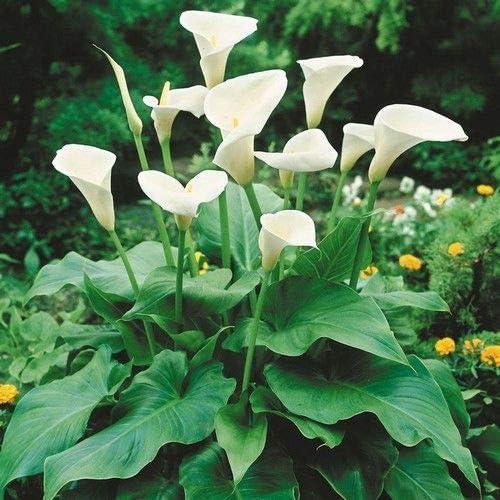 Zantedeschia aethiopica Calla lily Arum lily 3 plants