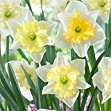 Van Zyverden 87044 Daffodils - Changing Colors - Set of 12 Flower Bulbs, 12/14 cm, Varies as it matures