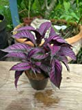 1 Persian Shield (Strobilanthes Dyerianus) Deep Purple Foliage Live Plant WCRF10