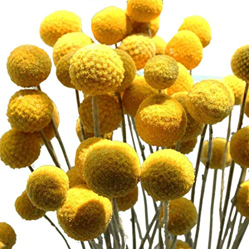Nettleton Hollow Craspedia/Billy Balls - 2 Bundles - 40-50 Stems