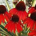 """(PCONX)~BULK~""""FIREBIRD"""" CONEFLOWER~Seed!!!~~~~150 Orange Echinacea!"""