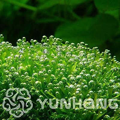 200pcs Antlers Moss Bonsai,Sagina Subulata Bonsai,Bonsai Moss Decorative Grass Bonsai,Potted Plant for DIY Home Garden: Garden & Outdoor