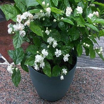 confederate star jasmine plant 6 pot. Black Bedroom Furniture Sets. Home Design Ideas