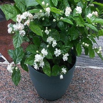 Jasmine Plant 25 Seeds Indoor Outdoor Herbal Plant With Tiny White Flowers. Amazon com   Jasmine Plant 25 Seeds Indoor Outdoor Herbal Plant