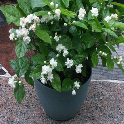 Amazon jasmine plant 25 seeds indooroutdoor herbal plant with jasmine plant 25 seeds indooroutdoor herbal plant with tiny white flowers mightylinksfo