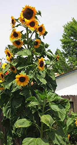 12' Sunflower (New 12 Foot Tall Skyscraper Sunflower Seeds!)