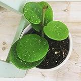 """Hoya obovata Plant 4"""""""