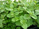 Wrigley's Spearmint Live Plant