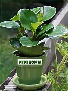 Amazon.com : Peperomia 'Ginny' in 4