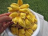 ~ 3 FEET HYBRID Chempedak Cempedak Artocarpus integer Jackfruit Plant Tree