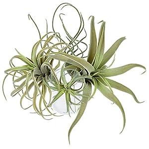 Silk Flower Arrangements 4Pack Artificial Pineapple Grass Air Plants Fake Flowers Faux Succulents Flocking Tillandsia Bromeliads Home Garden Decor,11 Inches