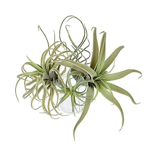 4Pack Artificial Pineapple Grass Air Plants Fake Flowers Faux Succulents Flocking Tillandsia Bromeliads Home Garden Decor,11 Inches