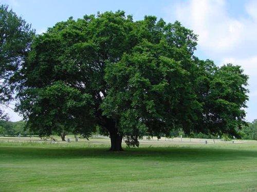 seeds-and-things-american-elm-tree-seeds-25-tree-seeds-ulmus-americana