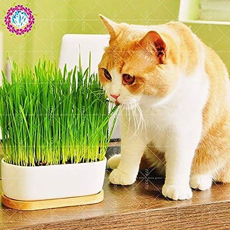 Pinkdose 50 unids/bolsa bonsai Trigo de gato Un tipo de comida para gatos hierba