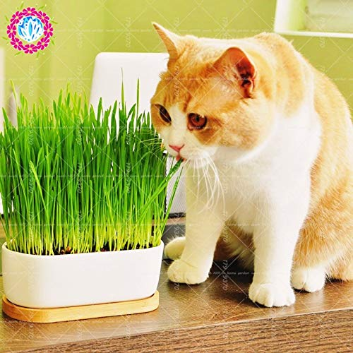 (Seed 50pcs/Bag Bonsai Cat Wheat A Kind of Cat Food Grass Orangic Grain Cereals Cropper Plants Perennial Herb for Home)