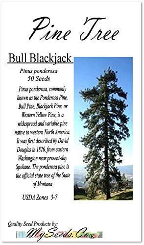 - Big Pack Bonsai Tree Seeds - Bull Blackjack Pine Tree (50 Seeds) - Pinus Ponderosa Pine Tree Seeds - Non-GMO Seeds by MySeeds.Co (Big Pack - Ponderosa Pine)