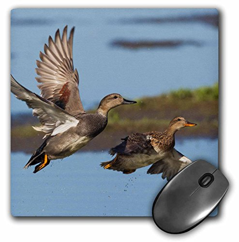 Gadwall Ducks - 3D Rose