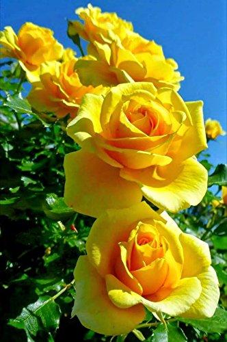 Amazon 20 seeds of yellow rose of texas garden outdoor 20 seeds of yellow rose of texas mightylinksfo