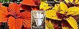 2 Pack Coleus Seeds 300 Seeds Upc 650327337916 +2 Free Plant Markers Wizard Pineapple Coleus Campfire Coleus