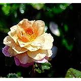 バラ苗 ディスタントドラムス 7号スリット大苗木立バラ 四季咲き オレンジ色 バラ 苗 薔薇 バラ苗木