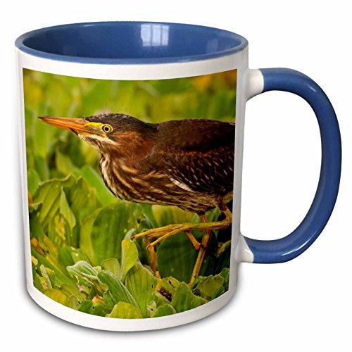 3dRose Danita Delimont - Birds - USA, Florida, Palm Beach, Young green heron bird - US10 BJY0004 - Jaynes Gallery - 15oz Two-Tone Blue Mug (mug_143640_11)