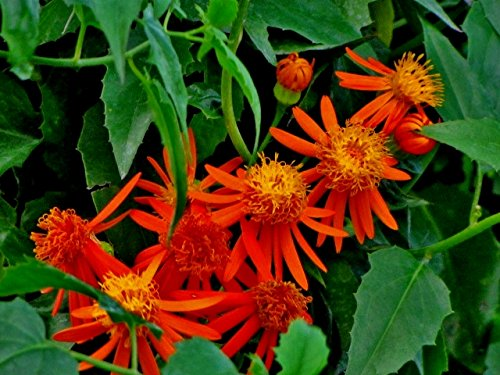 red-mexican-flame-vine-sao-paulo-plant-an-unusual-red-flowering-variety-attract-hummingbirds-butterf