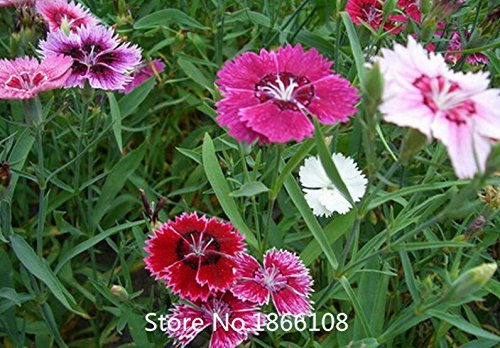 home & garden Promotion! 200 Dianthus Seeds , 16 kinds mixed packed, Sweet William flower, easy to grow ,high germination DIY ga (Sweet Grow William)