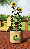 Sunflowers 10Gal Grow Bag with Display Case
