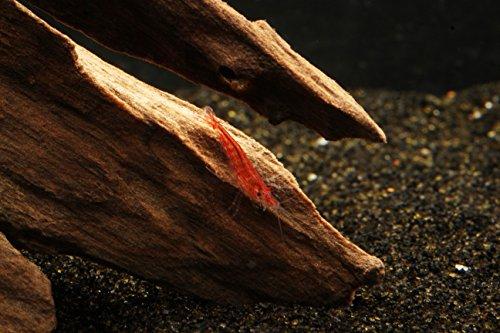 Fire Shrimp - 12 Cherry Shrimp - Neocaridina +2 Marimo Moss Balls