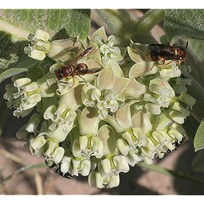 Asclepias arenaria | Sand Milkweed | 20_Seeds : Garden & Outdoor