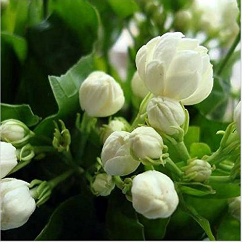 20seeds/bag Jasmine seed indoor plants perennial flower seeds