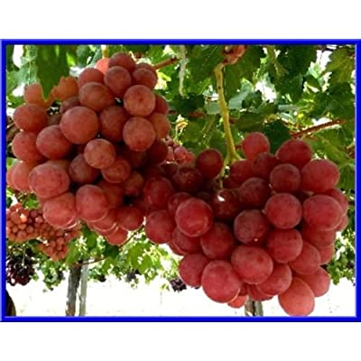 10 Seeds of Giant Red Globe Grape : Garden & Outdoor