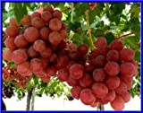 Giant Red Globe Grape 10 Seeds