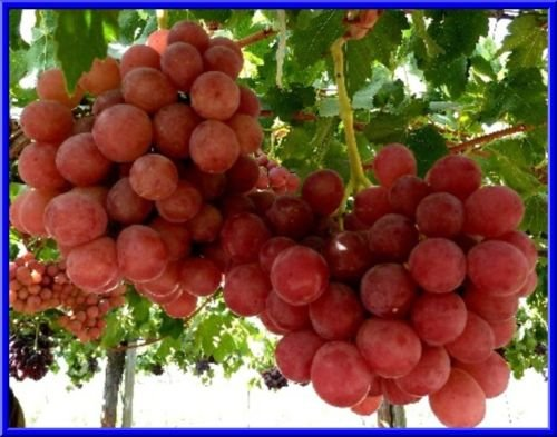 Giant Red Globe Grape 10 Seeds