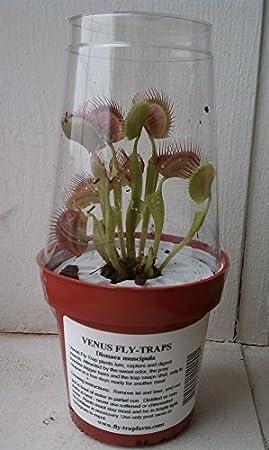 2 Dionaea planta carnívora, plantas en maceta con cúpula para 3 ...